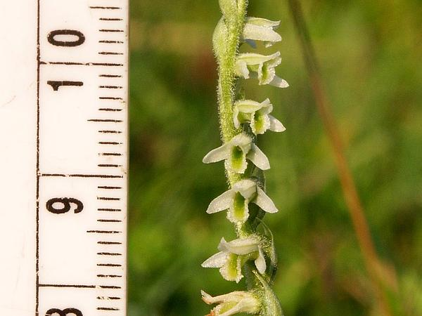 Lady's Tresses (Spiranthes) http://www.sagebud.com/ladys-tresses-spiranthes