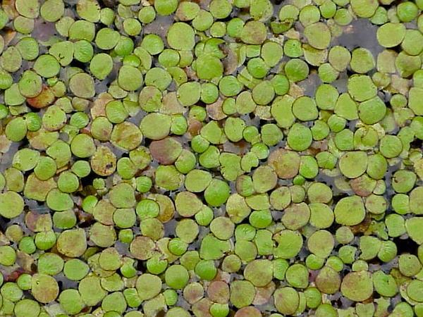 Duckmeat (Spirodela) http://www.sagebud.com/duckmeat-spirodela