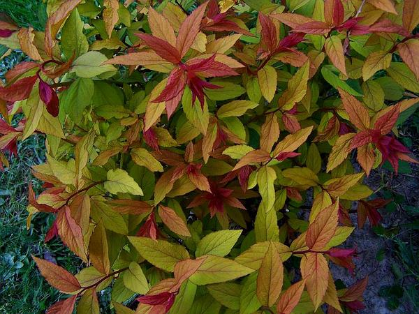 Japanese Meadowsweet (Spiraea Japonica) http://www.sagebud.com/japanese-meadowsweet-spiraea-japonica/