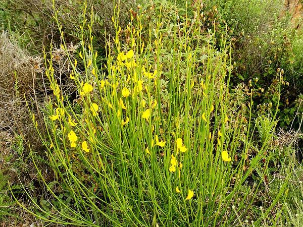 Spanish Broom (Spartium Junceum) http://www.sagebud.com/spanish-broom-spartium-junceum/
