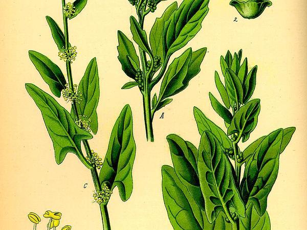 Spinach (Spinacia Oleracea) http://www.sagebud.com/spinach-spinacia-oleracea/