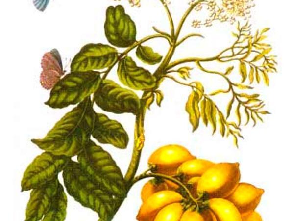 Mombin (Spondias) http://www.sagebud.com/mombin-spondias
