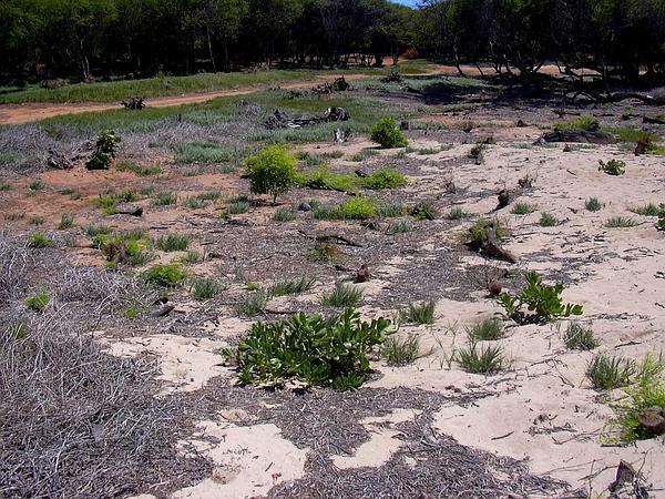 Dropseed (Sporobolus) http://www.sagebud.com/dropseed-sporobolus/