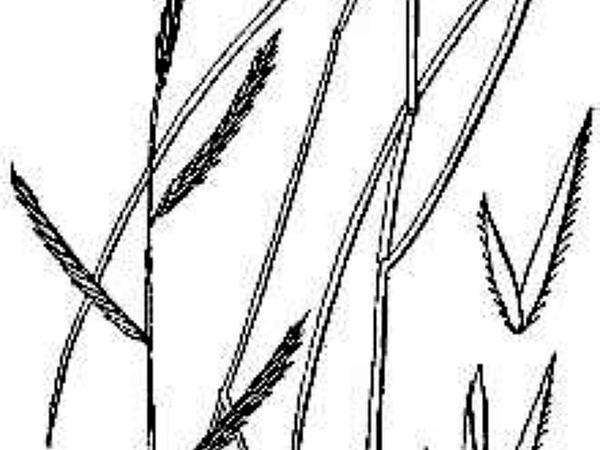 Saltmeadow Cordgrass (Spartina Patens) http://www.sagebud.com/saltmeadow-cordgrass-spartina-patens