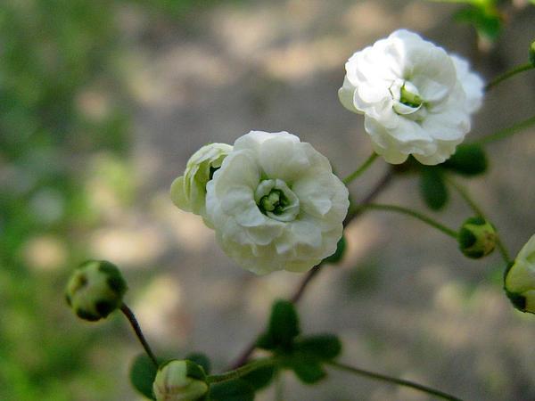 Bridalwreath Spirea (Spiraea Prunifolia) http://www.sagebud.com/bridalwreath-spirea-spiraea-prunifolia