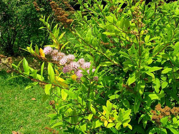 Willowleaf Meadowsweet (Spiraea Salicifolia) http://www.sagebud.com/willowleaf-meadowsweet-spiraea-salicifolia/
