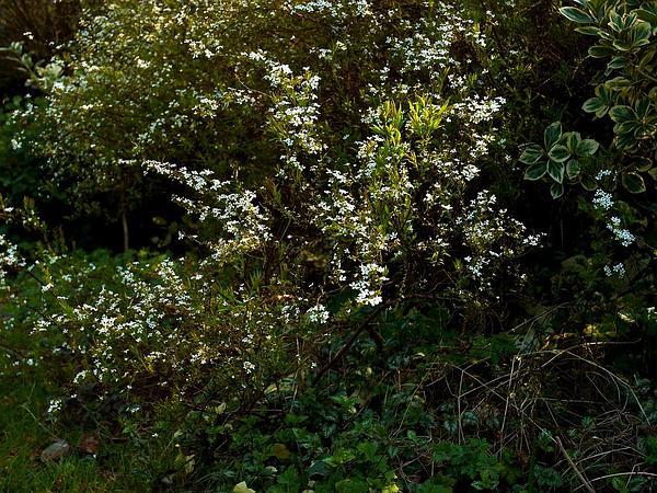 Thunberg's Meadowsweet (Spiraea Thunbergii) http://www.sagebud.com/thunbergs-meadowsweet-spiraea-thunbergii