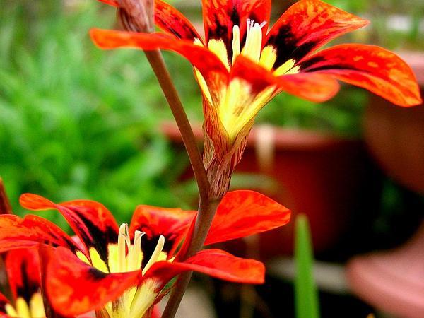 Wandflower (Sparaxis Tricolor) http://www.sagebud.com/wandflower-sparaxis-tricolor
