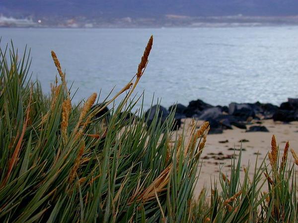 Seashore Dropseed (Sporobolus Virginicus) http://www.sagebud.com/seashore-dropseed-sporobolus-virginicus
