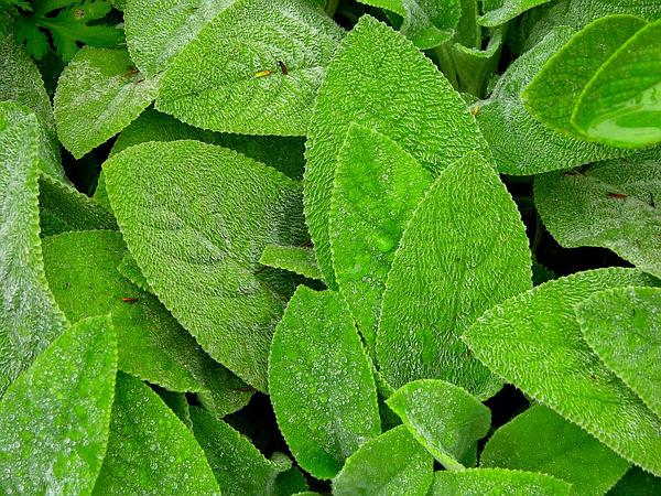 Hedgenettle (Stachys) http://www.sagebud.com/hedgenettle-stachys/