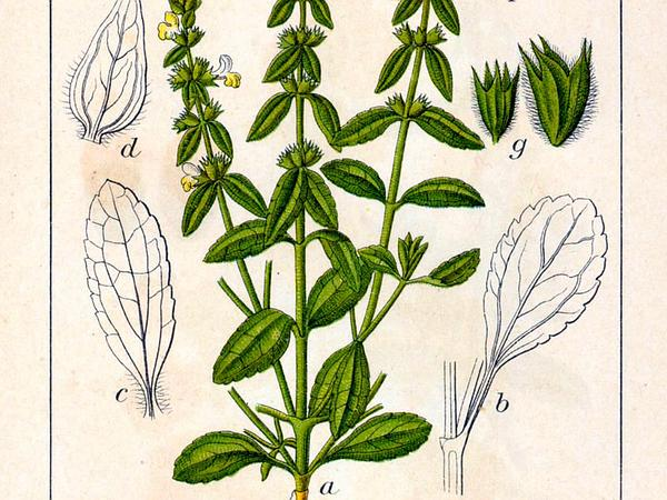 Annual Hedgenettle (Stachys Annua) http://www.sagebud.com/annual-hedgenettle-stachys-annua