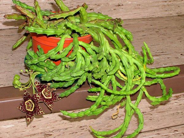 Stapelia (Stapelia) http://www.sagebud.com/stapelia-stapelia