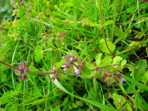 Staggerweed (Stachys Arvensis) http://www.sagebud.com/staggerweed-stachys-arvensis