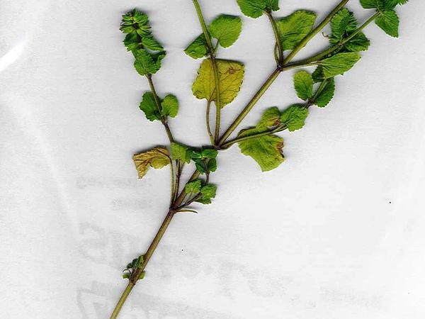 Staggerweed (Stachys Arvensis) http://www.sagebud.com/staggerweed-stachys-arvensis/