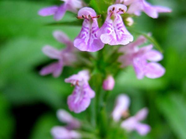 Hyssopleaf Hedgenettle (Stachys Aspera) http://www.sagebud.com/hyssopleaf-hedgenettle-stachys-aspera