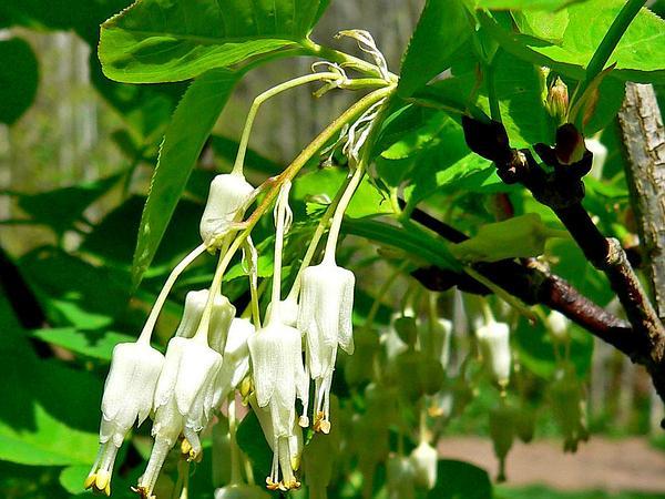 Sierra Bladdernut (Staphylea Bolanderi) http://www.sagebud.com/sierra-bladdernut-staphylea-bolanderi