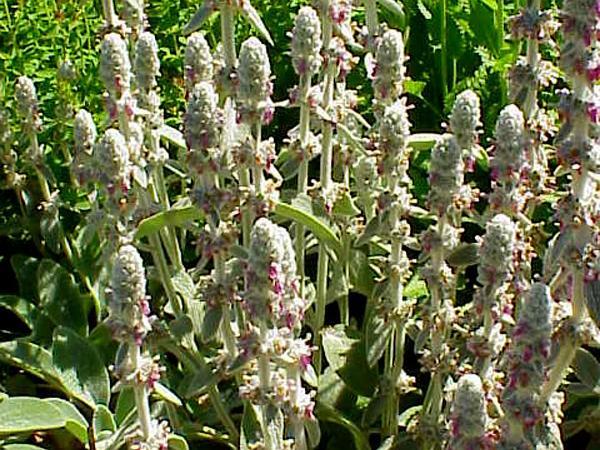 Woolly Hedgenettle (Stachys Byzantina) http://www.sagebud.com/woolly-hedgenettle-stachys-byzantina