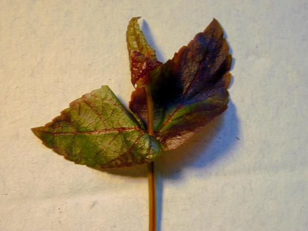 Maui Stenogyne (Stenogyne Calycosa) http://www.sagebud.com/maui-stenogyne-stenogyne-calycosa/