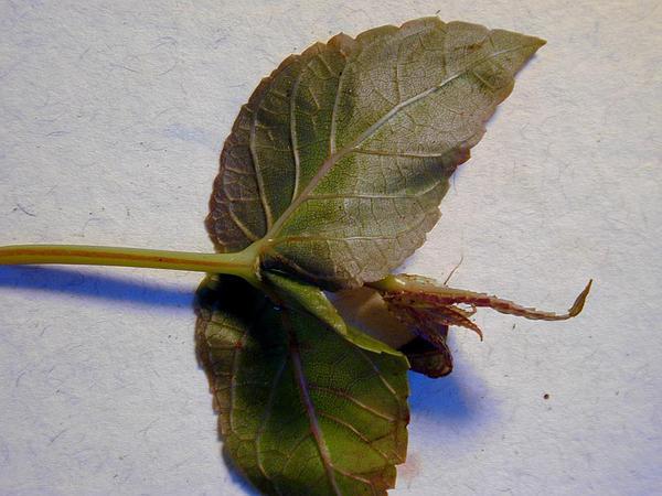 Maui Stenogyne (Stenogyne Calycosa) http://www.sagebud.com/maui-stenogyne-stenogyne-calycosa
