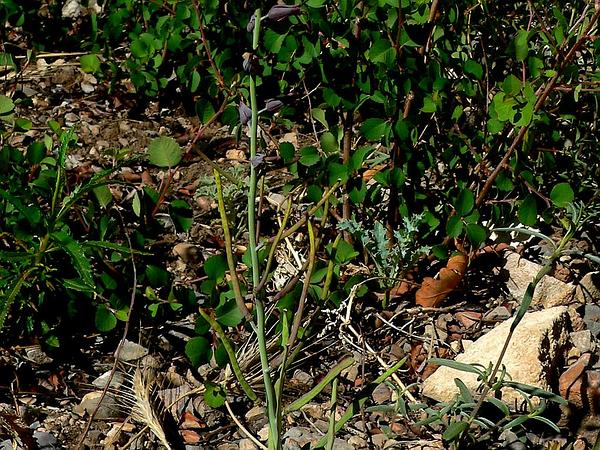 Heartleaf Twistflower (Streptanthus Cordatus) http://www.sagebud.com/heartleaf-twistflower-streptanthus-cordatus