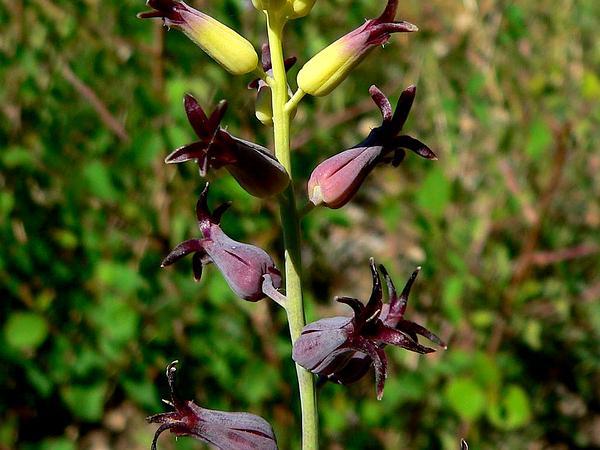 Heartleaf Twistflower (Streptanthus Cordatus) http://www.sagebud.com/heartleaf-twistflower-streptanthus-cordatus/