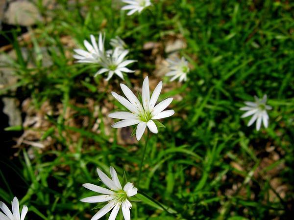 Starwort (Stellaria) http://www.sagebud.com/starwort-stellaria