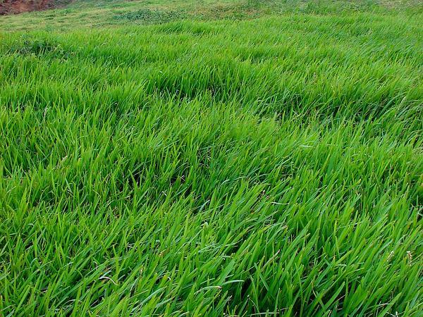 St. Augustine Grass (Stenotaphrum) http://www.sagebud.com/st-augustine-grass-stenotaphrum/