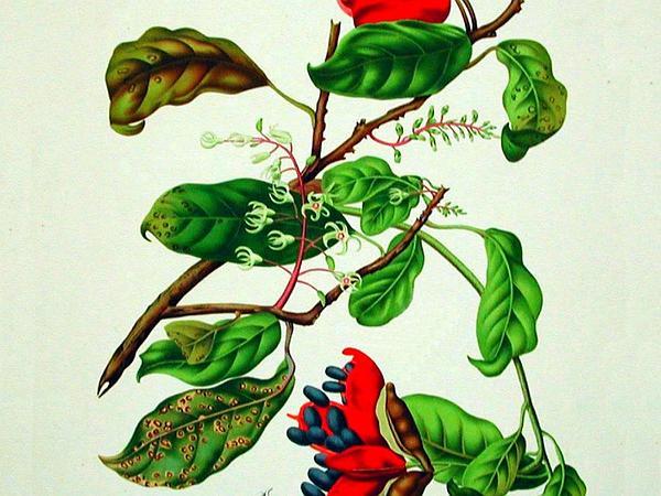 Sterculia (Sterculia) http://www.sagebud.com/sterculia-sterculia