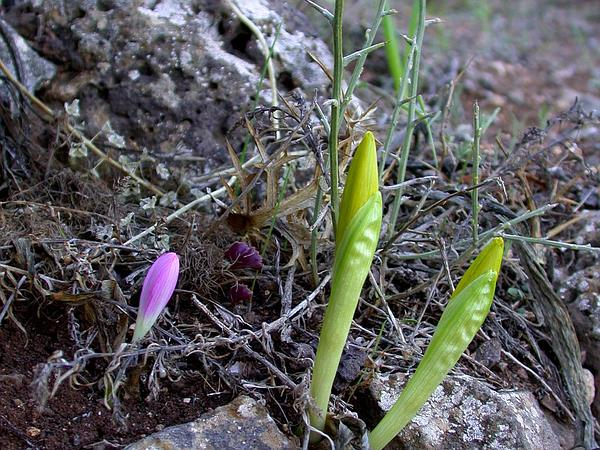 Winter Daffodil (Sternbergia) http://www.sagebud.com/winter-daffodil-sternbergia/