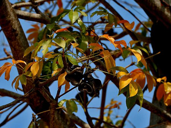 Hazel Sterculia (Sterculia Foetida) http://www.sagebud.com/hazel-sterculia-sterculia-foetida