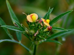 Shrubby Pencilflower