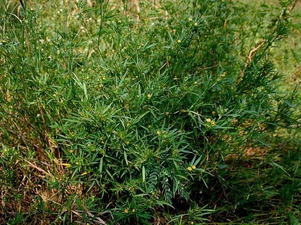 Shrubby Pencilflower (Stylosanthes Fruticosa) http://www.sagebud.com/shrubby-pencilflower-stylosanthes-fruticosa