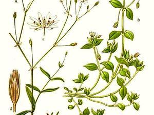 Grass-Like Starwort