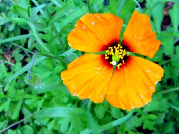 Windpoppy (Stylomecon Heterophylla) http://www.sagebud.com/windpoppy-stylomecon-heterophylla