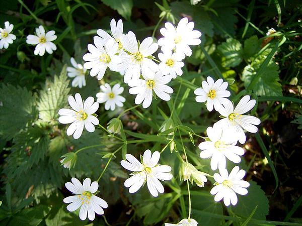 Addersmeat (Stellaria Holostea) http://www.sagebud.com/addersmeat-stellaria-holostea