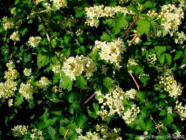Laceshrub (Stephanandra Incisa) http://www.sagebud.com/laceshrub-stephanandra-incisa