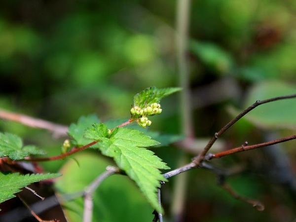 Laceshrub (Stephanandra Incisa) http://www.sagebud.com/laceshrub-stephanandra-incisa/