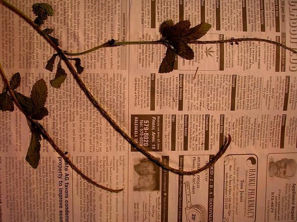 Light-Blue Snakeweed (Stachytarpheta Jamaicensis) http://www.sagebud.com/light-blue-snakeweed-stachytarpheta-jamaicensis/