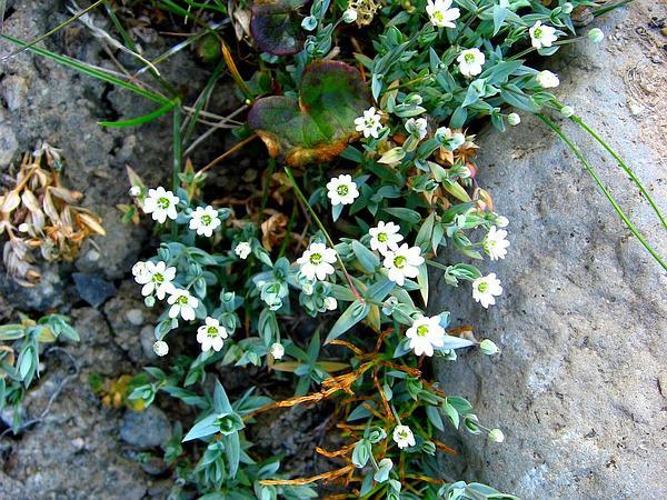 Longstalk Starwort (Stellaria Longipes) http://www.sagebud.com/longstalk-starwort-stellaria-longipes/