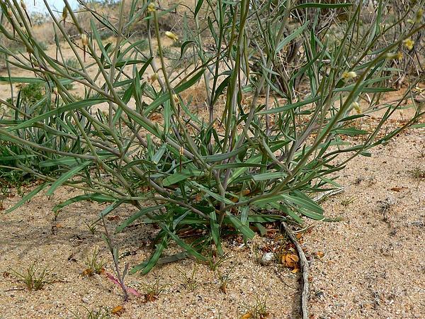 Longbeak Streptanthella (Streptanthella Longirostris) http://www.sagebud.com/longbeak-streptanthella-streptanthella-longirostris/