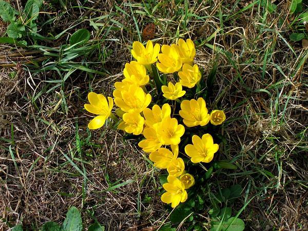 Winter Daffodil (Sternbergia Lutea) http://www.sagebud.com/winter-daffodil-sternbergia-lutea