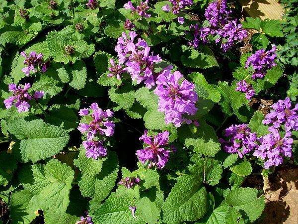 Big-Sage (Stachys Macrantha) http://www.sagebud.com/big-sage-stachys-macrantha