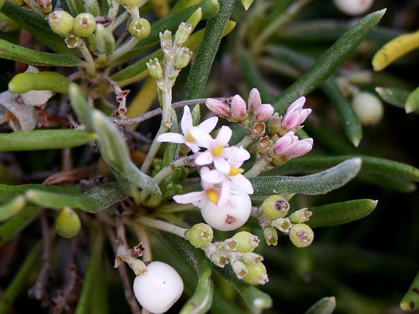 Pride Of Big Pine (Strumpfia Maritima) http://www.sagebud.com/pride-of-big-pine-strumpfia-maritima/
