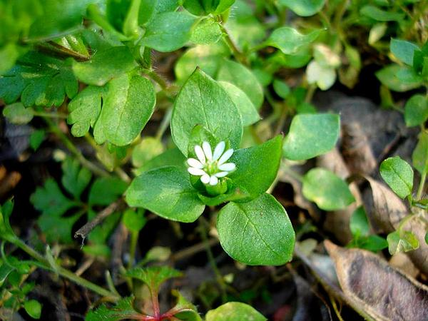 Common Chickweed (Stellaria Media) http://www.sagebud.com/common-chickweed-stellaria-media