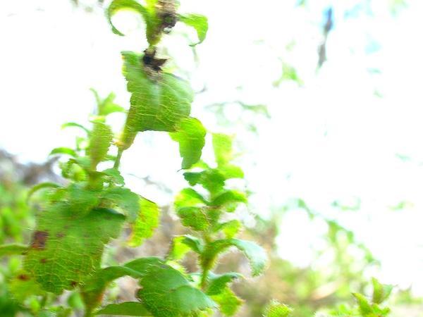 Littleleaf Stenogyne (Stenogyne Microphylla) http://www.sagebud.com/littleleaf-stenogyne-stenogyne-microphylla