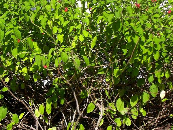 Changeable Velvetberry (Stachytarpheta Mutabilis) http://www.sagebud.com/changeable-velvetberry-stachytarpheta-mutabilis