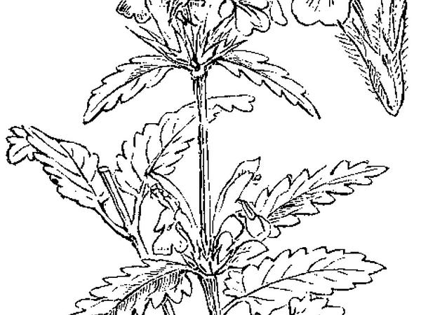 Common Hedgenettle (Stachys Officinalis) http://www.sagebud.com/common-hedgenettle-stachys-officinalis