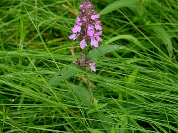 Marsh Hedgenettle (Stachys Palustris) http://www.sagebud.com/marsh-hedgenettle-stachys-palustris
