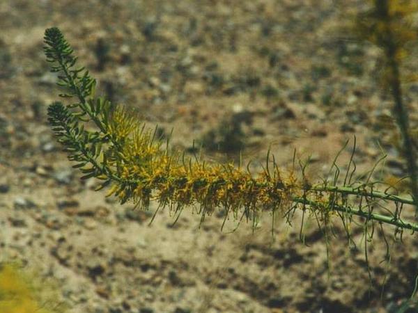 Desert Princesplume (Stanleya Pinnata) http://www.sagebud.com/desert-princesplume-stanleya-pinnata/