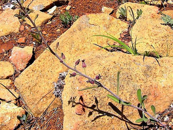 Twistflower (Streptanthus) http://www.sagebud.com/twistflower-streptanthus/